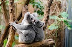Infectious Diseases and Immunology of the Koala