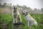 Evolutionary Map of Dog Breeds Yields Insights into Breed Origins