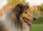 The Lassie Effect: Factors That Affect Dog Walking Behavior