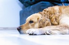 Reproductive Status and Neoplasia Incidence in Golden Retrievers