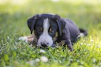 Canine Parvovirus Infection and Long-Term Health