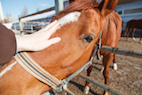 Review of Nonsteroidal Anti-inflammatory Drugs in Horses