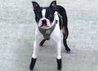 Pets and Prosthetics: Growing Interest, Advancing Technology