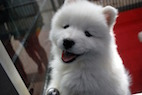 Pet Store Puppies Linked to Multistate <i>Campylobacter</i> Outbreak
