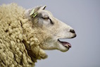 Artificial Intelligence Recognizes and Assesses Pain Levels in Sheep