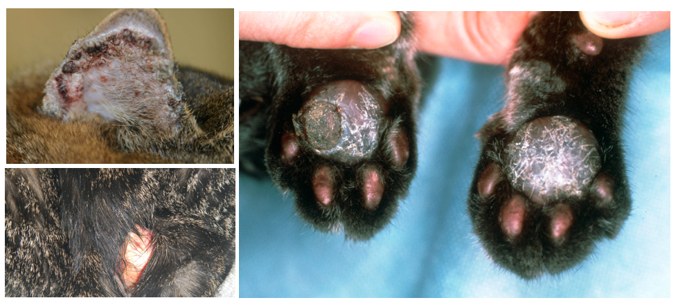 Bowen S Disease In Cats Images