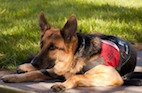 Service Dogs May Lower Stress Levels of Veterans With PTSD